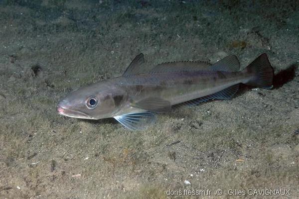 le merlu est une espèce en vente à la criée
