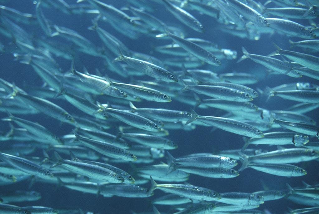 L'anchois commun