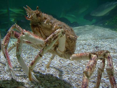 Une araignée de mer vivante