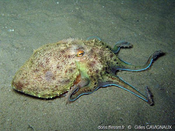 La pieuvre élédone